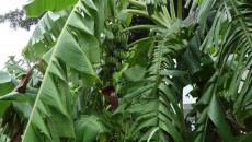 特に手入れをしなくても立派な実をつけるバナナがクルワイ・ナムワー