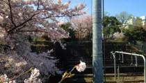【電車好きっ子必見!】今週末はお花見盛り! 都電荒川線沿線の絶景スポット紹介